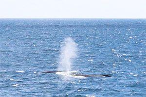 【期間限定】ハワイにクジラがやってきた!「スター・オブ・ホノルル号」で行くホエール・ウォッチング!